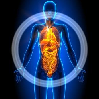 איברים פנימיים ויסצראליים